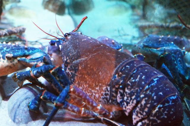 blue lobster in tank at sea life aquarium