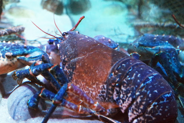 close up picture of a blue lobster in a tank