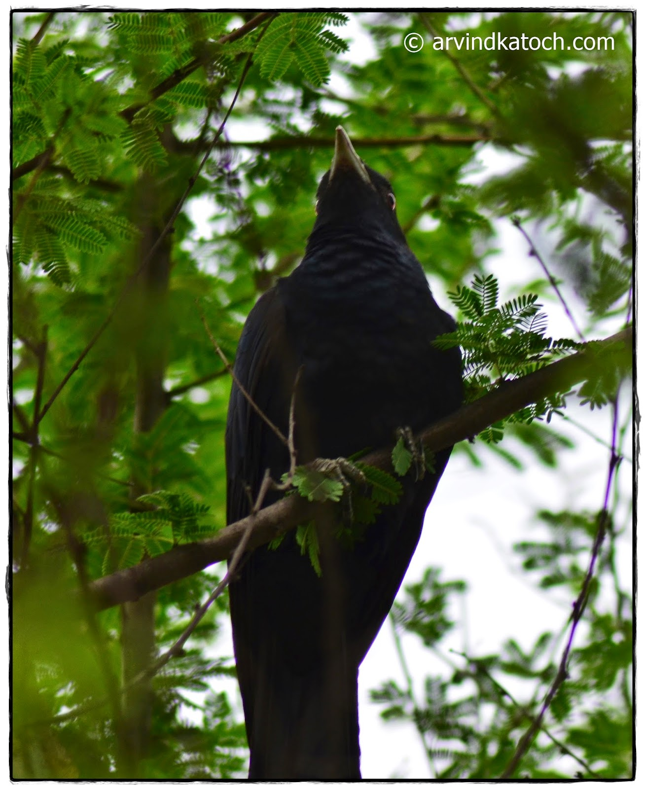 Asian Koel, Male