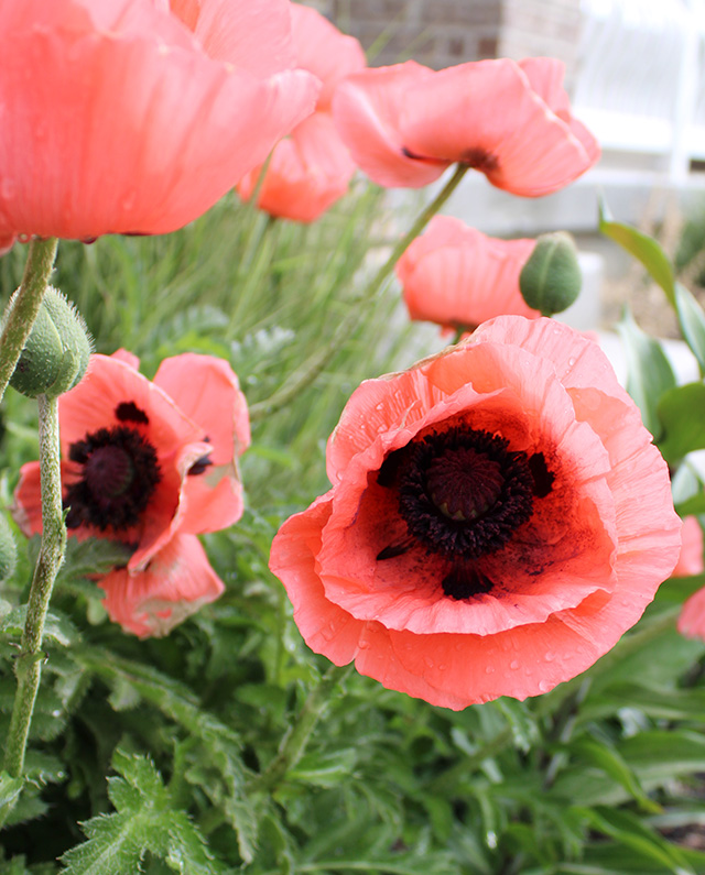 coral pink oriental poppy flowers