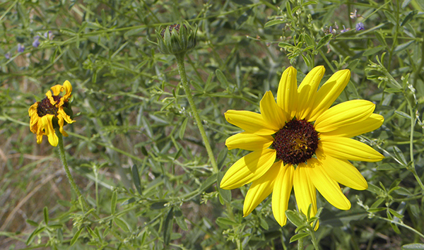 Fresh and Wilted Black-eyed Susans