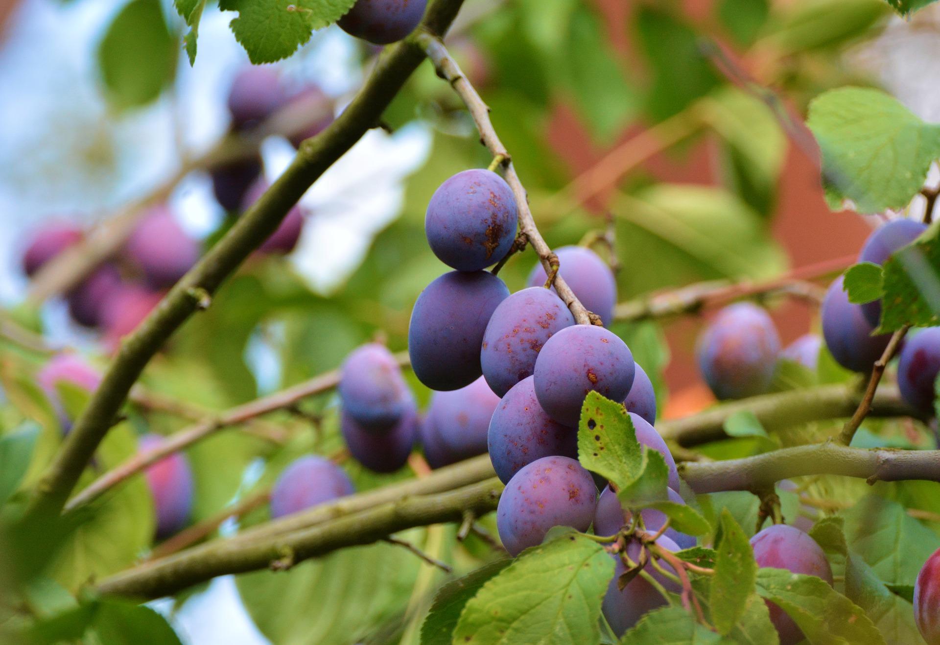 Grow Plum Tree