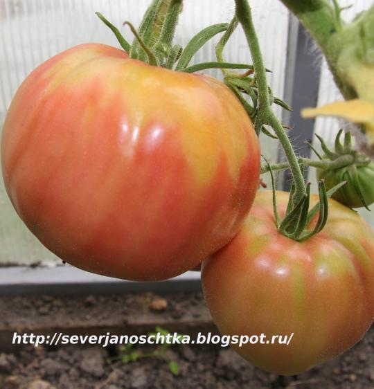 сорта ранних помидоров