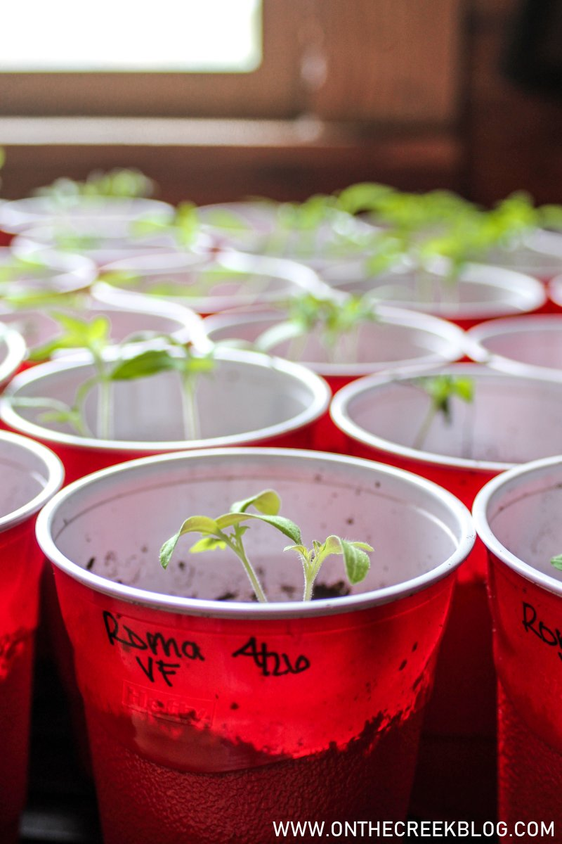 Roma VF Seedlings | On The Creek Blog