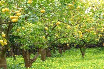 Beberapa Penyebab Pohon Jeruk Susah Tumbuh