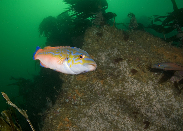 Cuckoo Wrasse. Photo copyright Paul Naylor/www.marinephoto.co.uk (All Rights Reserved)