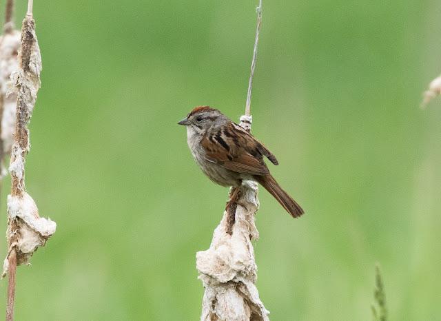 Swamp Sparrow - Lake Lansing, Michigan, USA