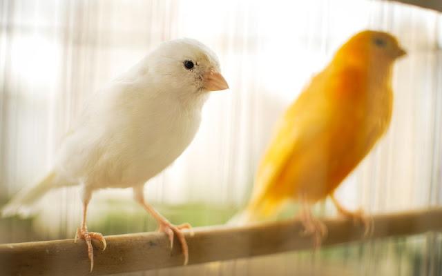 Aves domésticas: conoce las más comunes