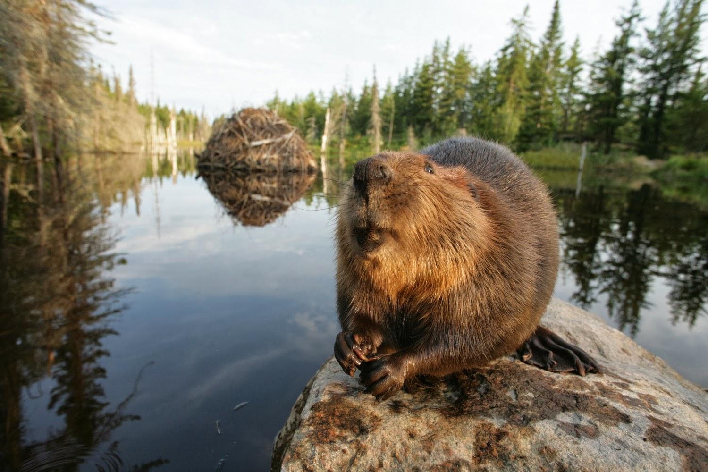 Natural Food Flavoring Beaver