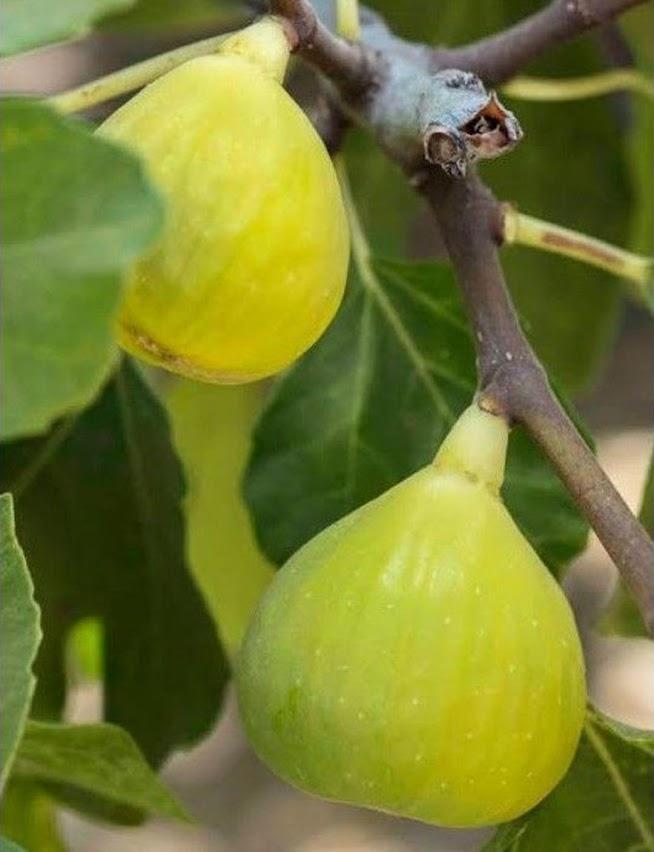 bibit buah tin TENA fresh cangkok Jawa Barat