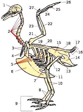 Ilustración del esqueleto de un ave enumerando sus partes