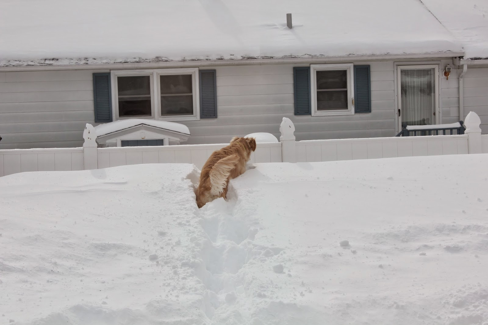 dog playing in deep snow