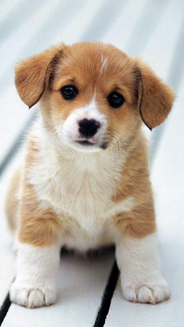 iphone cute dog wallpaper