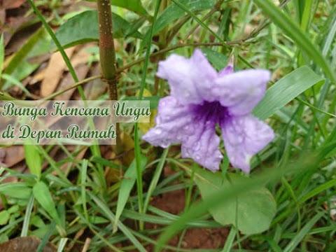 Bunga Kencana Ungu di Depan Rumah Saya Ternyata Punya Banyak Manfaat