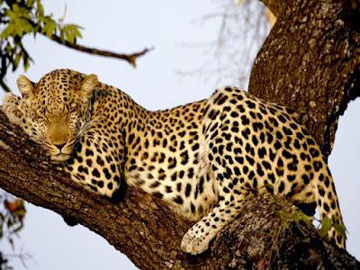 Klasifikasi Ilmiah Panthera Pardus