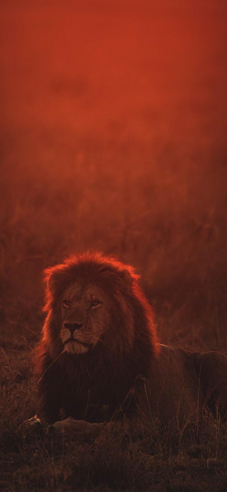 Sad lonely lion