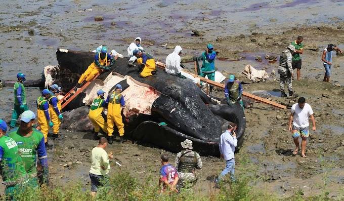 Moradores fazem churrasco com carne de baleia que encalhou em Salvador; vídeo