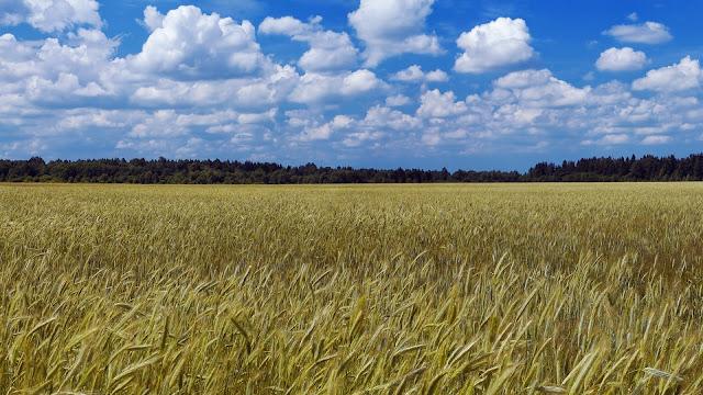 Graanvelden onder bewolkte lucht