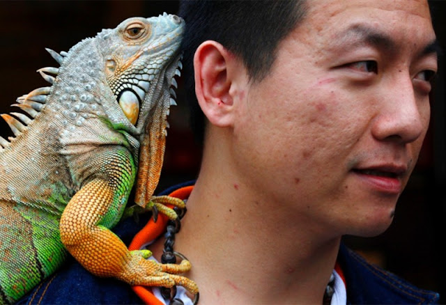 A resident of Taipei celebrates International Animal Day with his  iguana, He love to sit on his shoulder.