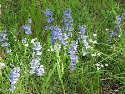 penstemon and chickweed, Boulder, CO