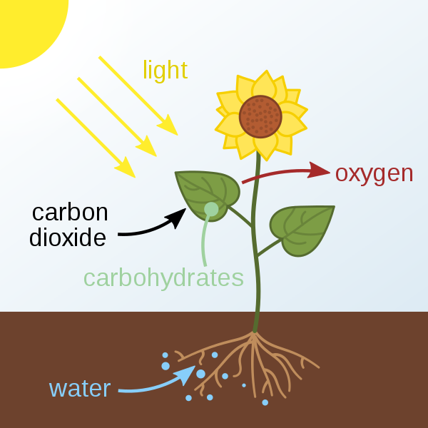 Describe the Mechanism and the Factors affecting Photosynthesis.