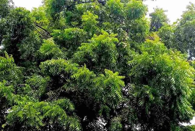 निम का पेड एक औषधि