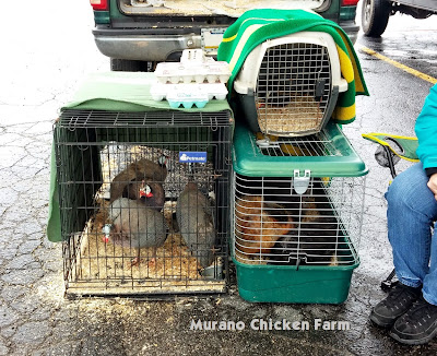 Chicks for sale at a Chicken swap