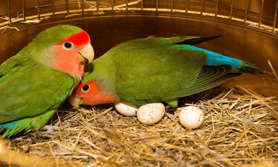 Cara Perawatan Burung Lovebird