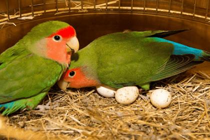 Cara Perawatan Lovebird Pada Saat Bertelur