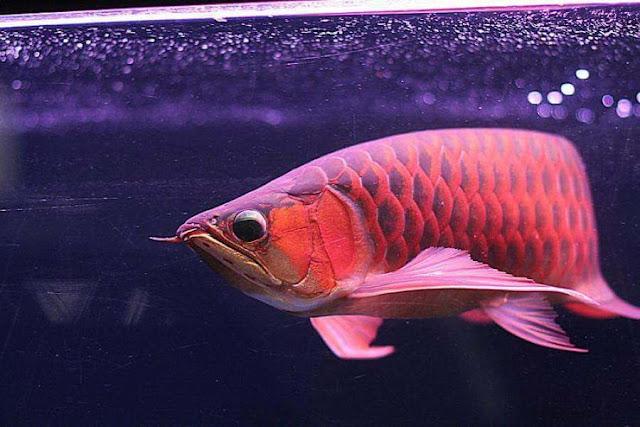 Ternyata Umur Ikan Arwana Bisa Capai Puluhan Tahun !