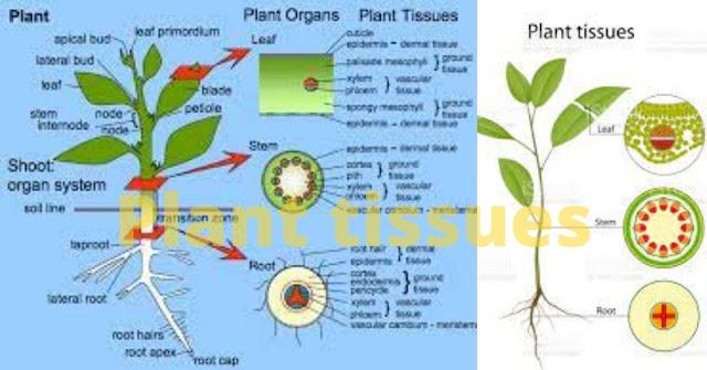 Location of meristematic tissue in plant body