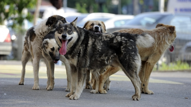 În ciuda dezinteresului arătat de primarul Sava, 150 de câini fără stăpân vor fi ridicați de pe străzile din Urizceni de o firmă de ecarisaj