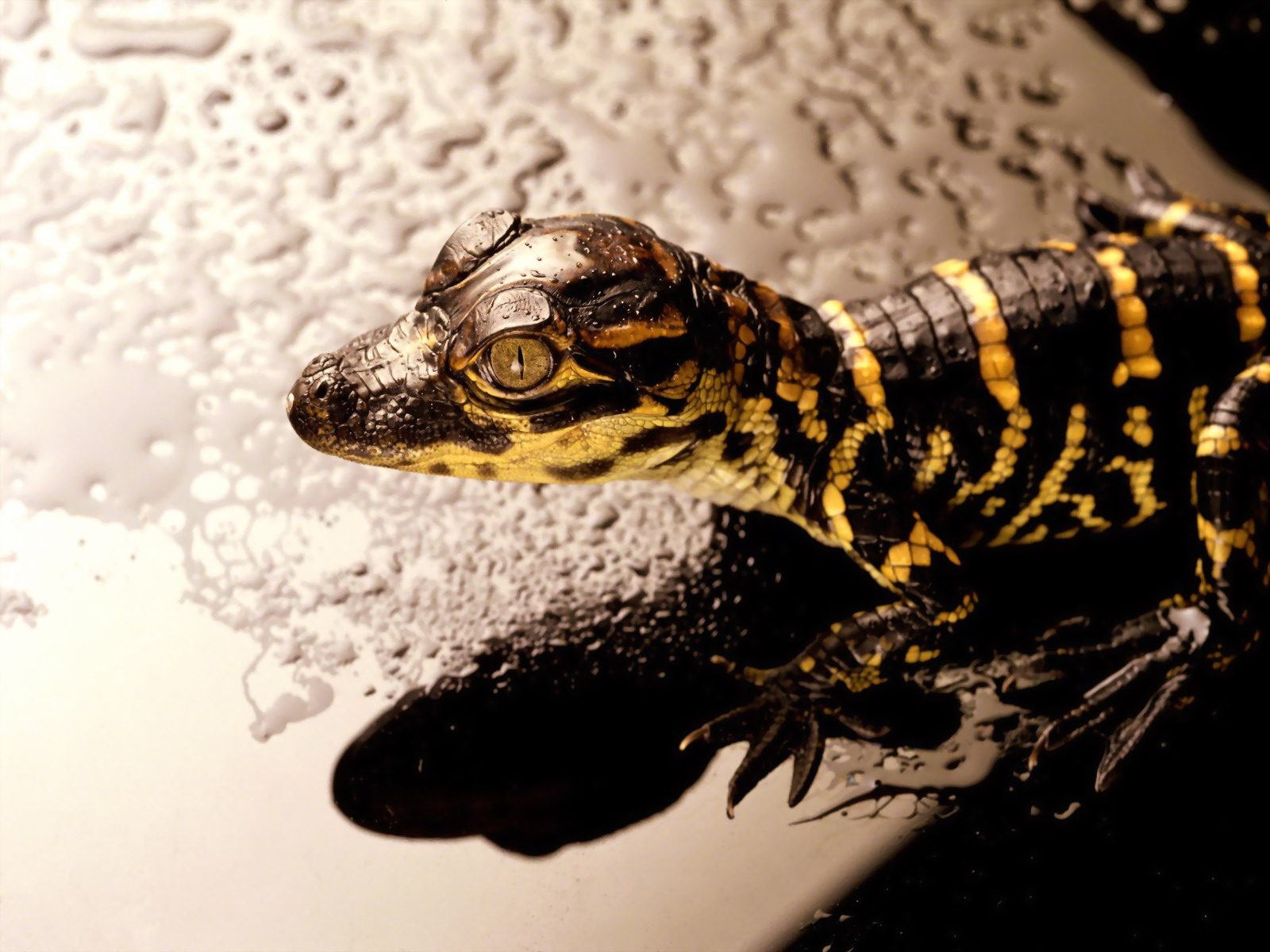 22 reptile hd wallpapers - photo #11
