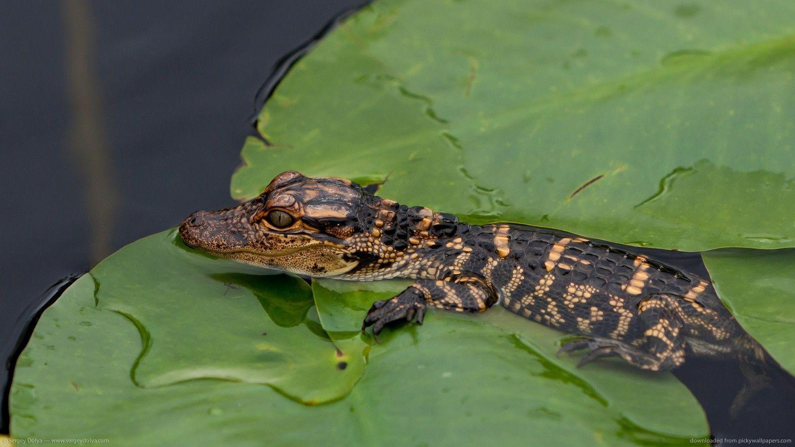 Small Alligator Wallpapers animal wallpapers