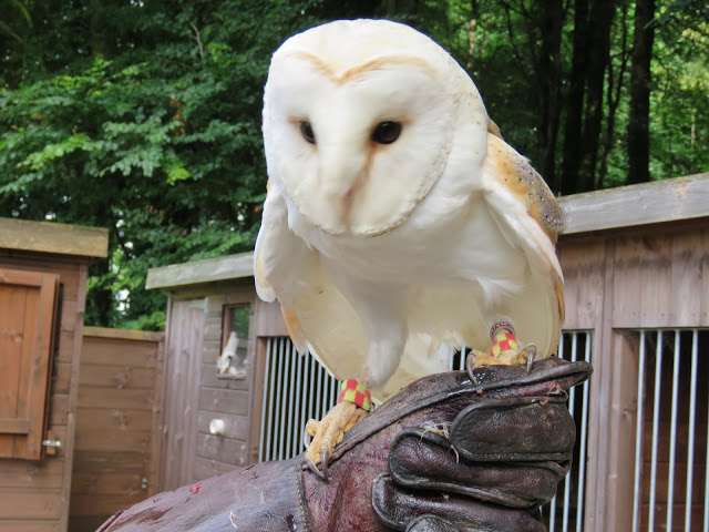 Oisin the Barn Owl at Mount Falcon estate in County Mayo, Ireland
