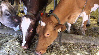 Guernsey Cow Pros and Cons, Facts, Price