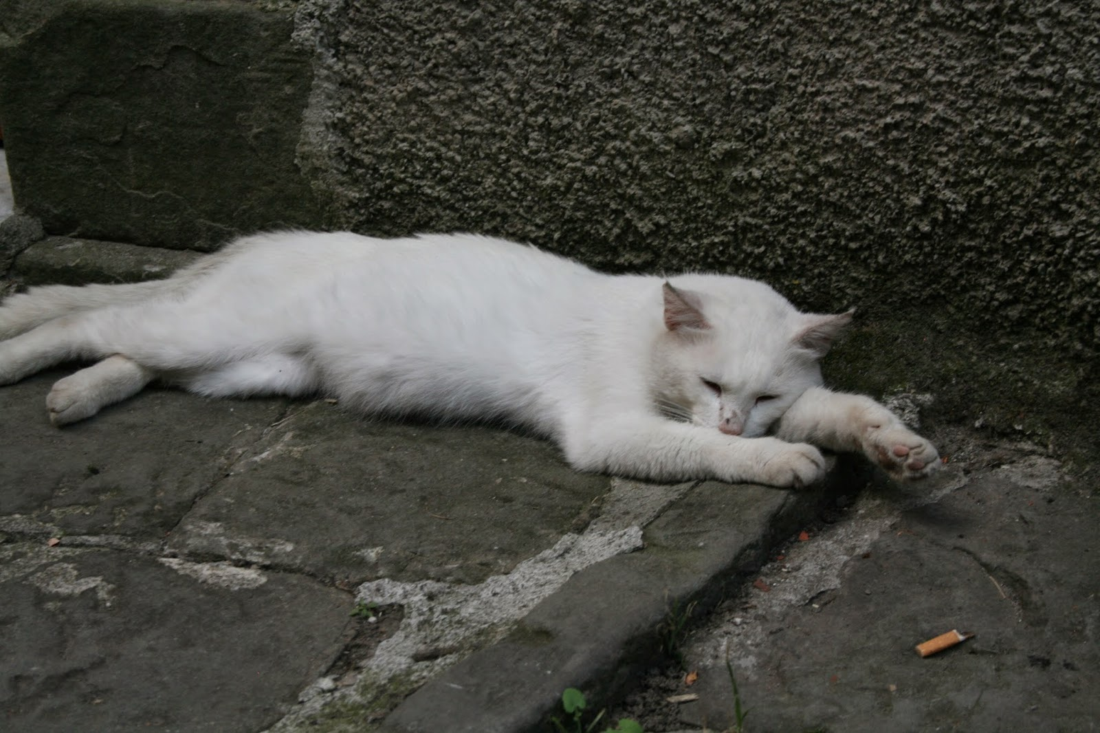 Image of a White Cat lying down in Lucchio Hill Top village