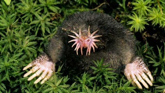 Tikus Mol Berhidung Bintang