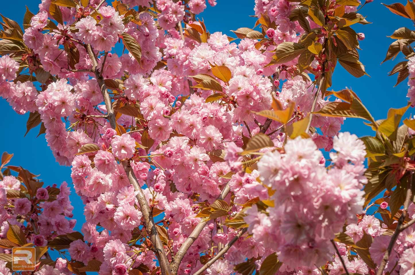 Sakuras ziedu zars 2