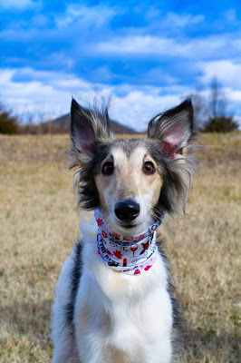 A Collie dog wearing a bandana around their neck is staring straight at the camera with their ears up. They are in a grass field with the blue sky behind them.