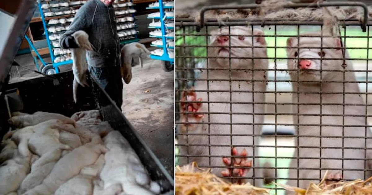 Planned Killing Of 17 Million Mink In Denmark Is Stopped After Opposition Parties Speak Up