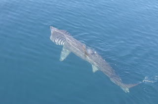 ikan hiu besar di permukaan air