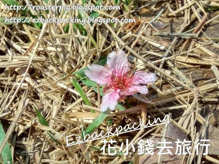 香港櫻花落花