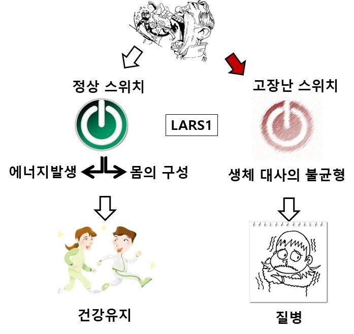 LARS1 효소가 대사조절 스위치 역할 세계 최초 규명