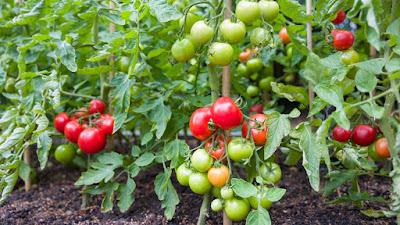 tomat, daun tomat, buah tomat, tomato,