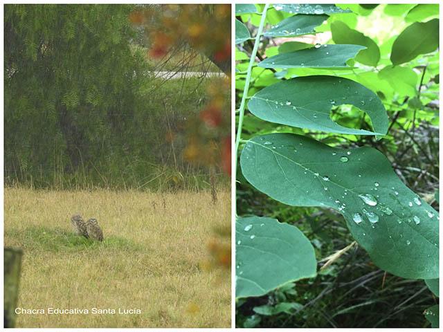 Lechuzas disfrutando la lluvia/ hojas mojadas -  Chacra Educativa Santa Lucía
