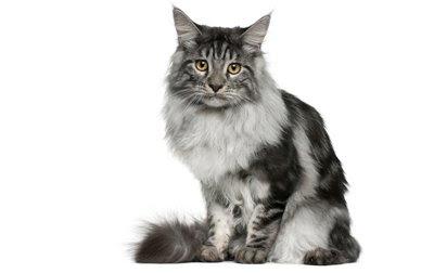 kucing-kucing termahal di dunia serta tips perawatannya