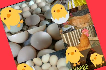 Membuat Adonan Pakan: Khusus Ayam Kampung Petelur