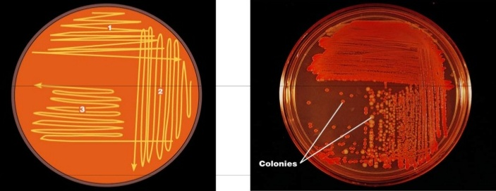 Lab: 4 culture of microorganisms from environment ppt video.