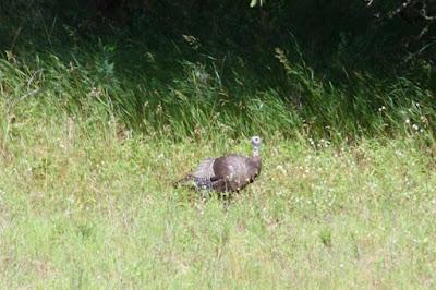 poult-less turkey hen, mid-Summer Phot